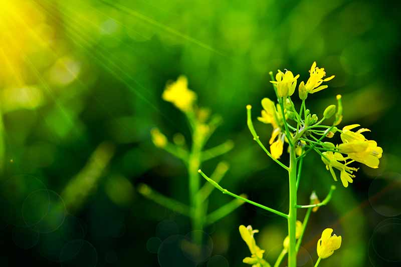A close up of bright yellow Brassica rapa var chinensis flowers on a soft focus green background in filtered sunlight.