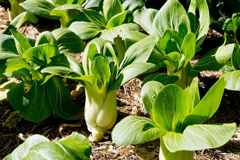 A close up of rows of bok choy plants growing in the garden with a straw mulch between the plants, in bright sunshine.