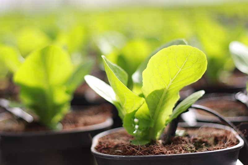 A close up of bok choy seedlings in small black pots on a soft focus background.