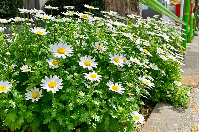 A border of feverfew plants growing next to a concrete walkway in bright sunshine. The white petals contrast with the yellow centers and green leaves. The background is a stone wall.