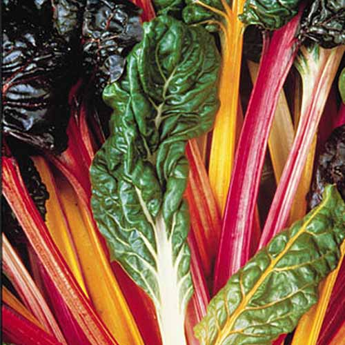 A close up of the 'Bright Lights' chard variety with vivid multicolored stems and leaves that vary from dark green to purple. In the center of the frame is a heavily savoyed leaf with a white stem.