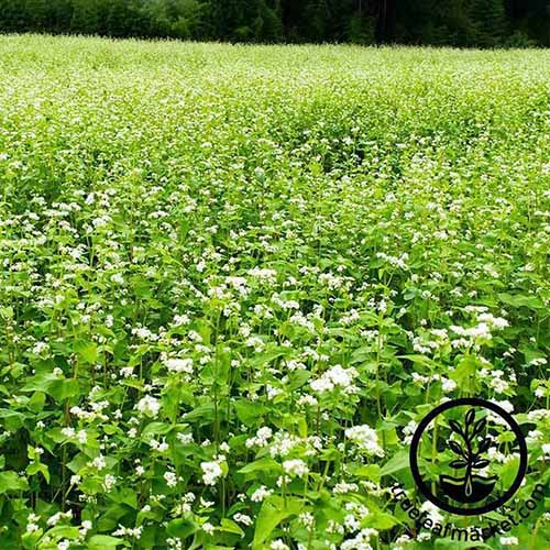 A close up of a field of buckwheat, completely covering the surface. White flowers contrast with the green leaves in the sunlight. To the bottom right of the frame is a black circular logo with text.