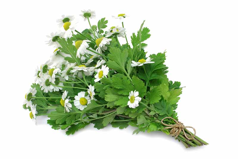 A close up of a bunch of white feverfew flowers, with stems and leaves, tied into a bunch with rustic string on a white background.
