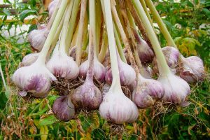 How to Plant and Grow Garlic in Your Veggie Patch