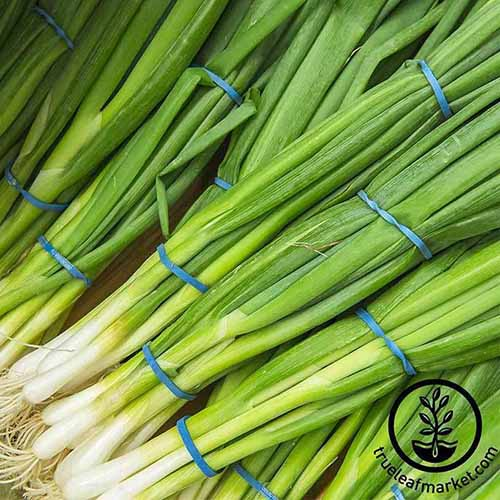A close up of bunching onions, cleaned, with their roots still intact, held together by blue elastic bands. To the bottom right hand side of the frame is a black circular logo with text.