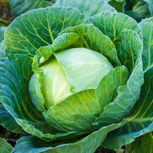 Close up of a head of cabbage growing in a garden.