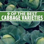 A close up of cabbages growing in the garden with light green leaves around the tight heads in the center, surrounded by darker green flat leaves with white veins. To the center and bottom of the frame is green and white text.