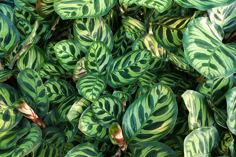A close up of the leaves of a calathea plant. Dramatic two tone in dark and light green, the large leaves are patterned.