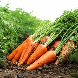 Close up of freshly harvested carrots laying in a bundle in a vegetable garden.