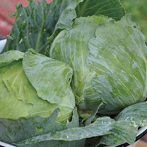 A close up of two heads of 'Charleston Wakefield' cabbages with tight light green leaves around the head, and large, darker leaves on the outside.