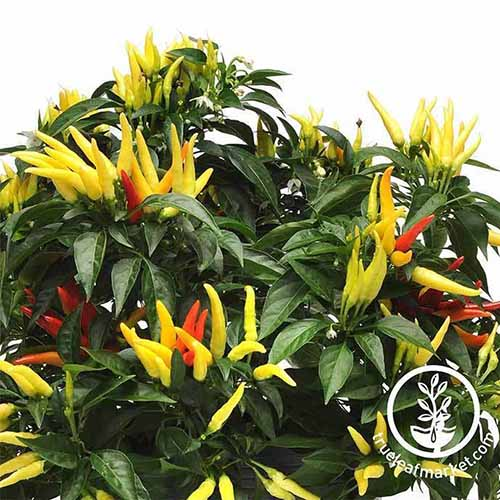 A close up of the 'Chilly Chili' variety with clusters of yellow and red peppers contrasting with dark green foliage. To the bottom right of the frame is a white circular logo and text.