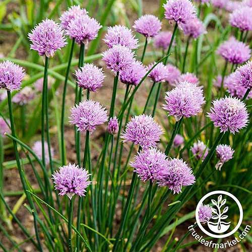A close up of a chive plant with bright purple flowers. In the background is soil and plants in soft focus. To the bottom right side of the frame is a white circular logo with text.