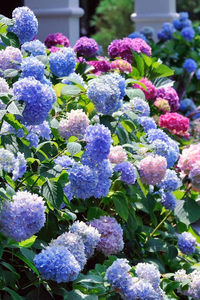 A collection of hydrangeas in bloom with different colors of flowers including blue, purple, pink, and red.