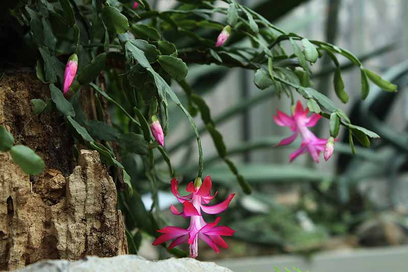 A close up of a Christmas cactus plant on a piece of rustic wood, its stems hanging down with pink and white flowers contrasting with the green of stems. The background has further plants fading to soft focus.
