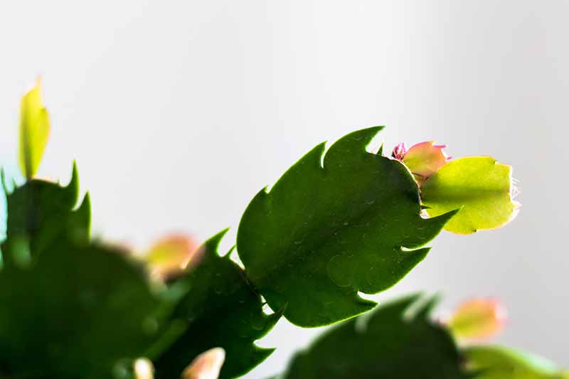 A close up of a stem section of a Christmas cactus plant with a tiny new growth on the end of it, with soft focus stems and a white background.