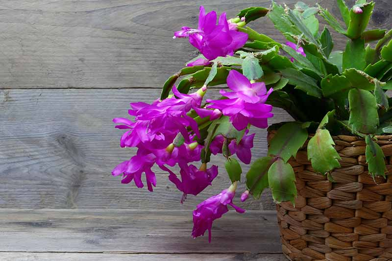 A close up of Christmas cactus plant in a wicker pot, with a vivid purple flower contrasting with the succulent green leaves. The background is rustic wood.