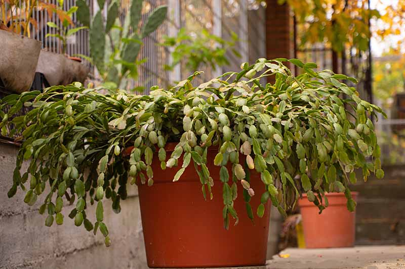 A close up of a plastic pot with a large Christmas cactus plant in it. In the background are further pots, vegetation and ivy, on a concrete surface next to a low wall.
