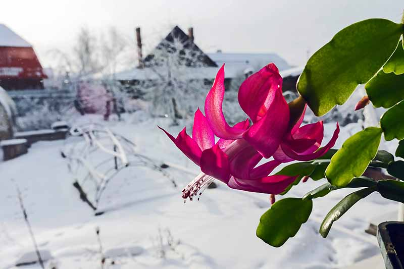 A close up of a vivid pink Christmas cactus plant with a few green stem segments visible. In the background is a snowy garden scene, with houses and trees.