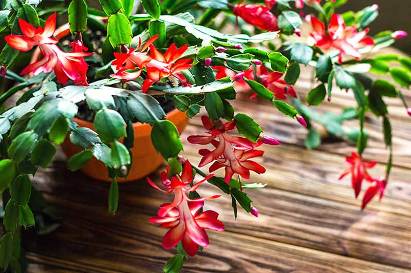 A close up of a flowering Christmas cactus plant with green succulent leaves and dramatic red and white flowers, on a wooden surface.