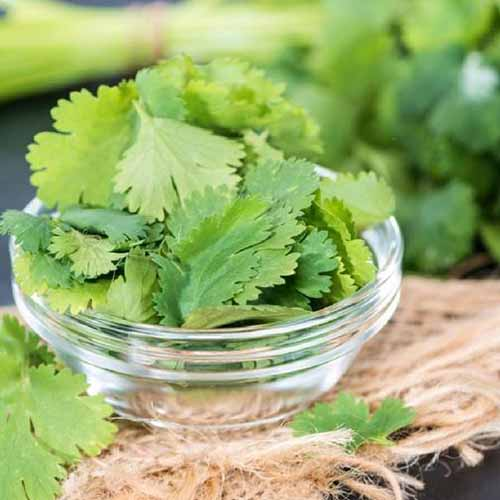 A small glass bowl containing fresh cilantro leaves, with scattered leaves around it and in the background, on a rustic hessian surface.