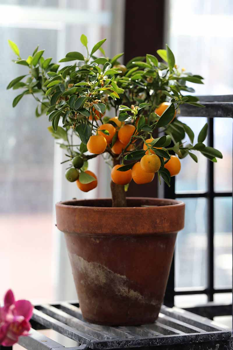 A small orange tree in a terra cotta pot on a metal surface in front of a bright window.