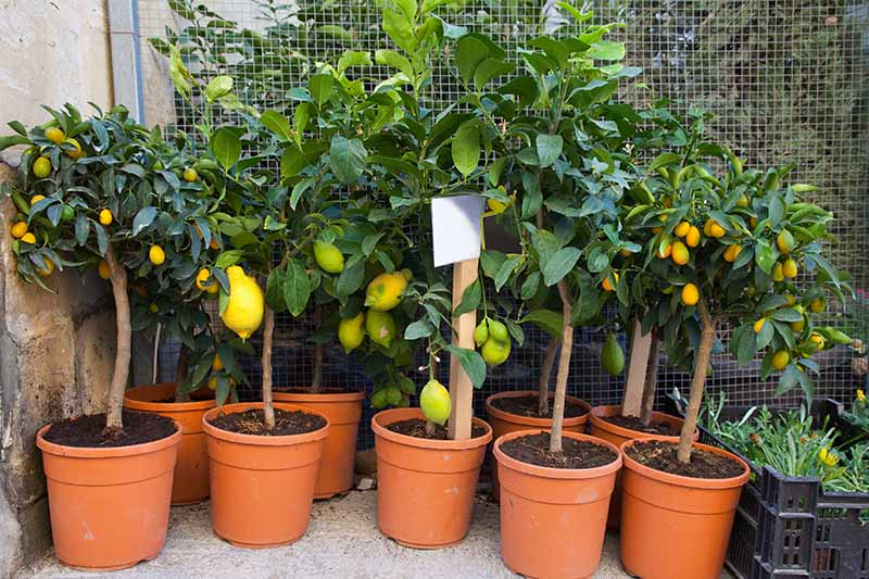 A variety of different citrus trees, some small, some larger, all in terra cotta pots at a garden nursery. In the background is a wire fence and a stone wall.