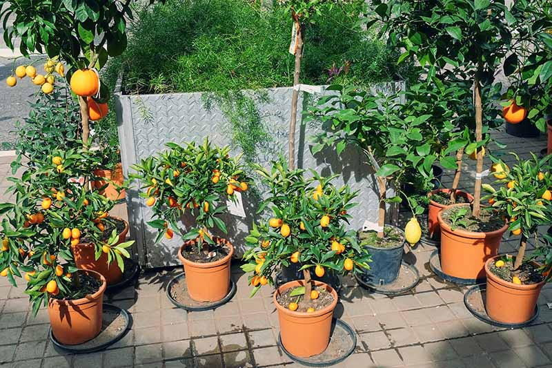 An outdoor scene with several different varieties of citrus trees in small pots in bright sunshine against a metal container in the background.