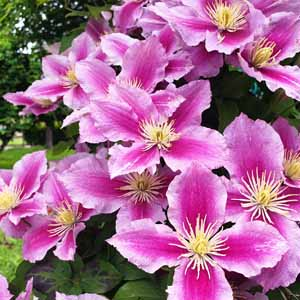 Close up of pink blooms of a clematis vine.