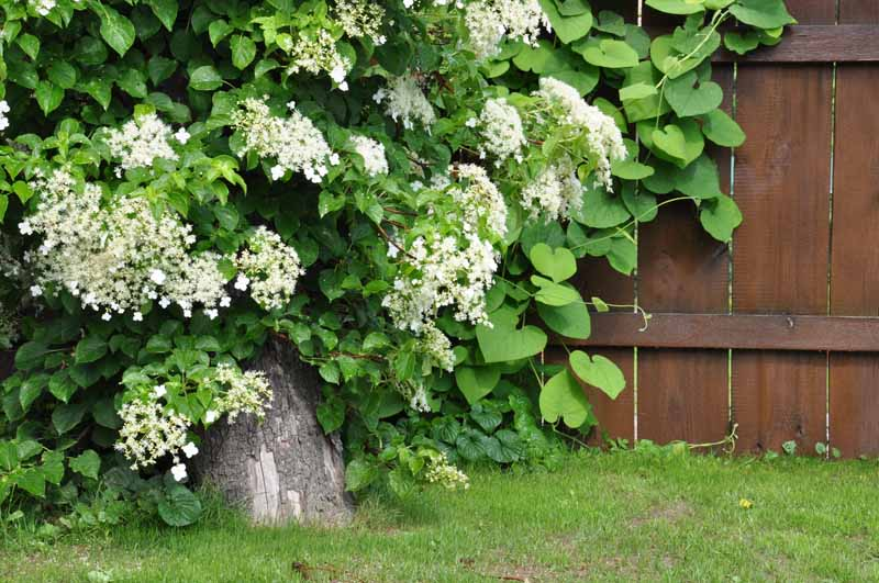 A close up horizontal image of a climbing hydrangea growing in the backyard with a wooden fence in the background.