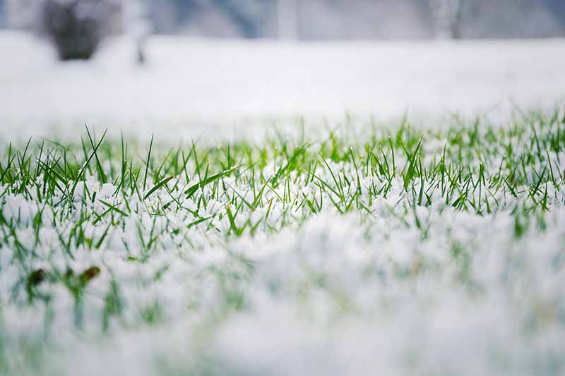A close up of a lawn with bright green grass blades poking up through snow and frost, with a soft focus background.