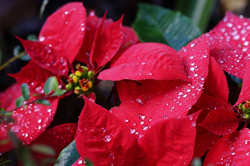 A close up of the bright red bracts of a poinsettia plant with water droplets on a soft focus background.