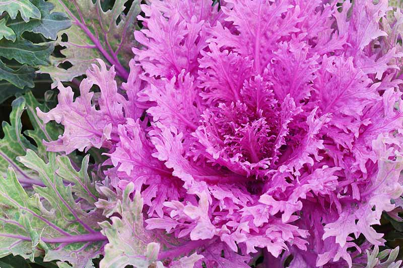 A close up of dramatic purple leaves of an ornamental kale plant with delicate frilly leaves. To the left of the frame are some of the light green leaves with purple veins.
