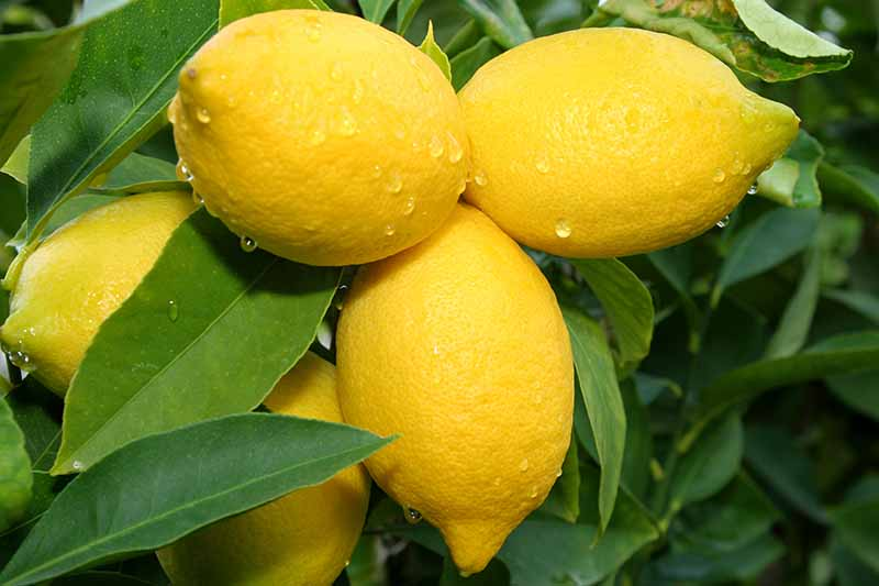 A close up of ripe yellow lemon fruits on the plant with dark green leaves surrounding them and in the background.