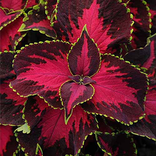 A close up of a coleus plant 'Chocolate Covered Cherry' variety with dramatic leaves in bright red with dark red edges and light green tips.