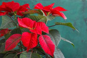 How to Care for Poinsettia After the Holidays