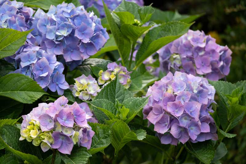 A close up horizontal image of the purple and blue flowers of common mop head hydrangea growing in the garden.