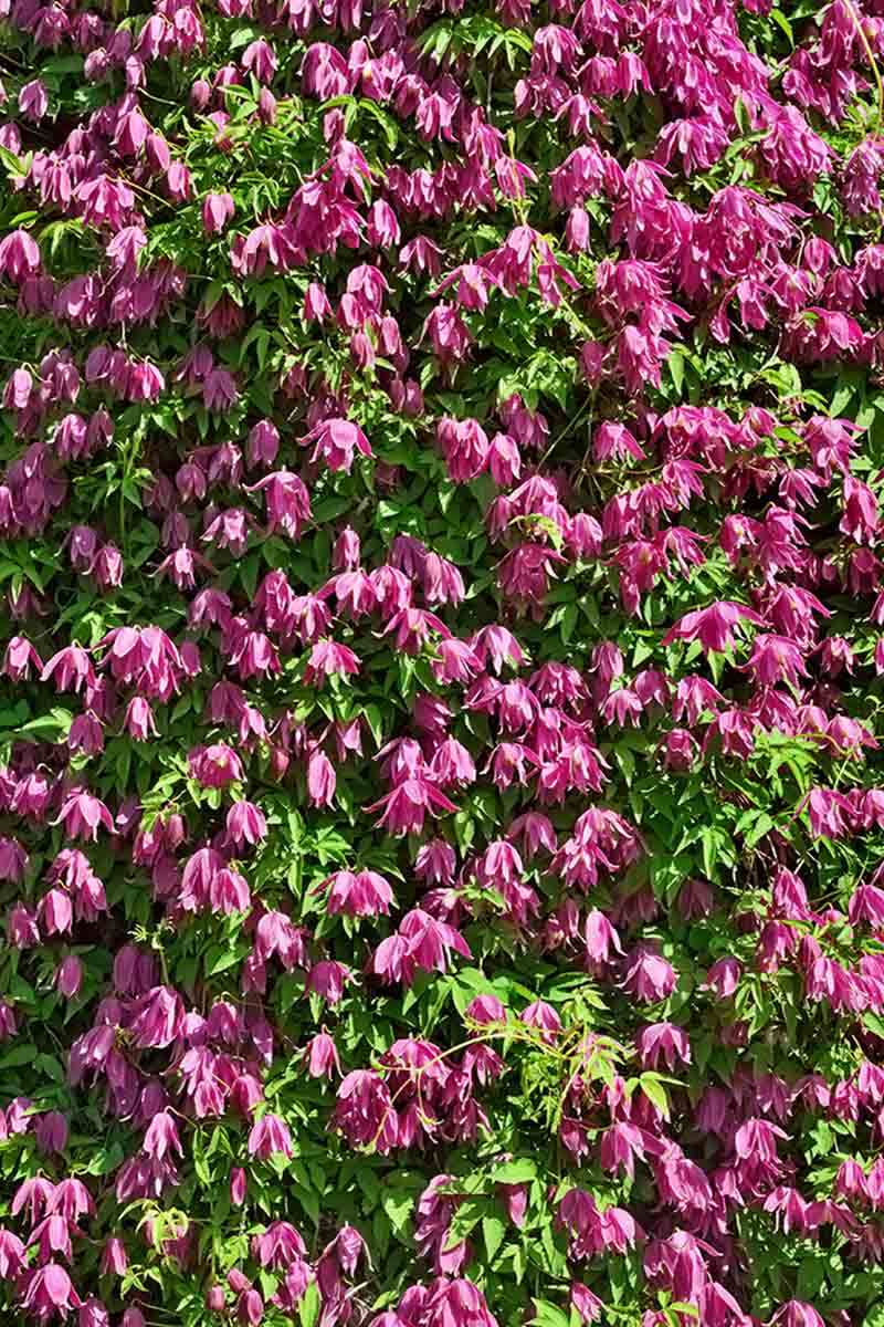 A vertical picture of a mass of bright pink 'Constance' flowers contrasting with the green leaves surrounding them in bright sunshine.