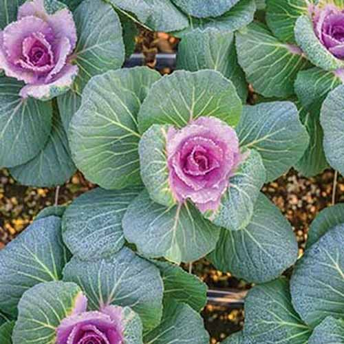 A top down close up of 'Crane Pink' variety of Brassica oleracea var. acephala. The center leaves are dark purple fading to light. The outer leaves are light green with light veins.