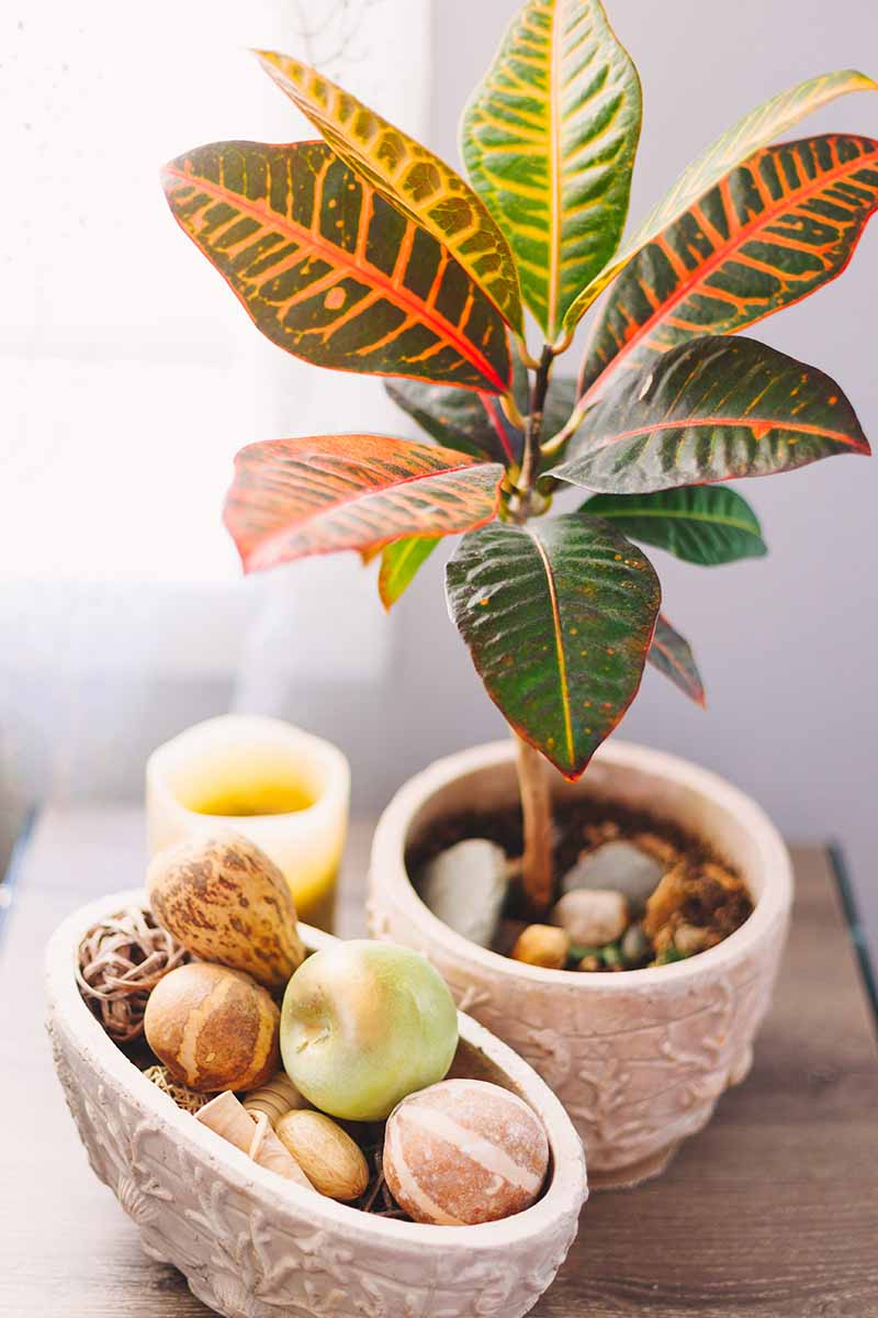 A vertical image of a ceramic pot with a croton plant next to another ceramic pot containing ornamental gourds, on a wooden surface with a small candle behind.