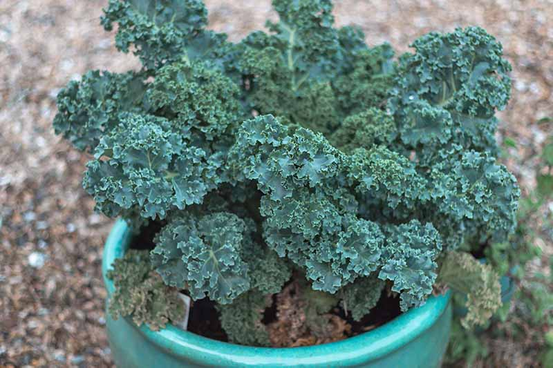 A green ceramic pot containing a curly kale plant with dark green leaves on a soft focus background of soil.