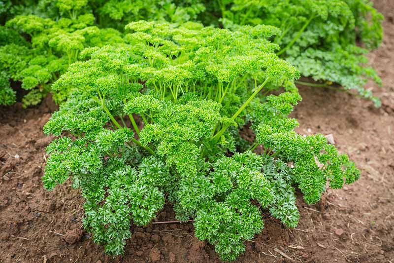 A close up of a parsley plant growing outdoors in the soil. The plant has bright green curly leaves contrasting with the rich soil. The background fades to soft focus.