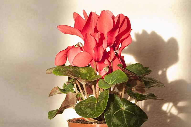 A close up of a cyclamen plant with red flowers contrasting with the green leaves and their pale veins. The background is a white wall and a shadow.