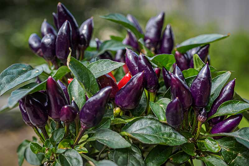 A close up of an ornamental pepper plant with very deep green leaves and dark purple upright fruits on a soft focus green background.