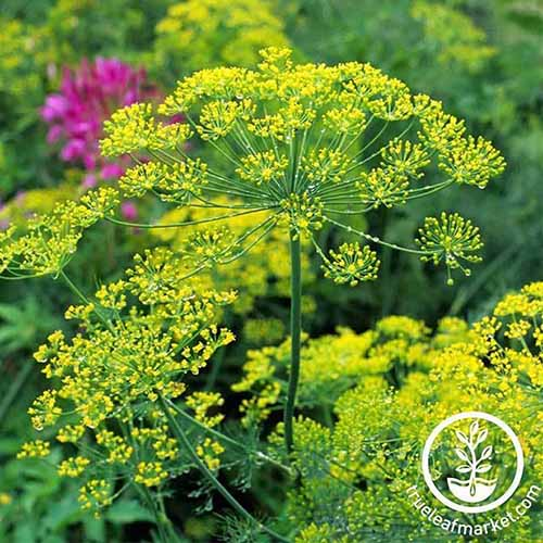 A close up of a dill plant with tiny yellow flowers contrasting with the thin green stalks against a soft focus background. To the bottom right of the frame is a white circular logo with text.
