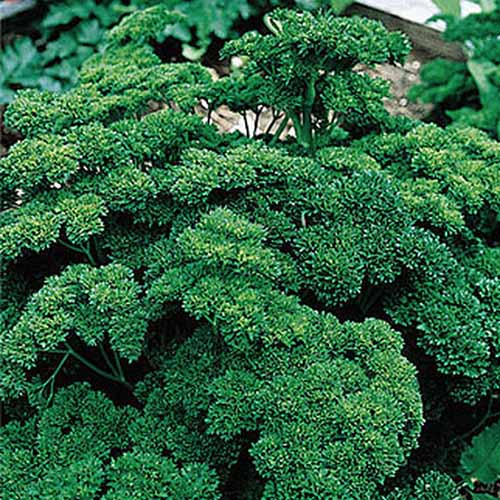 A close up of 'Double Curled' parsley variety, dark green and very curly leaves, on a soft focus background.