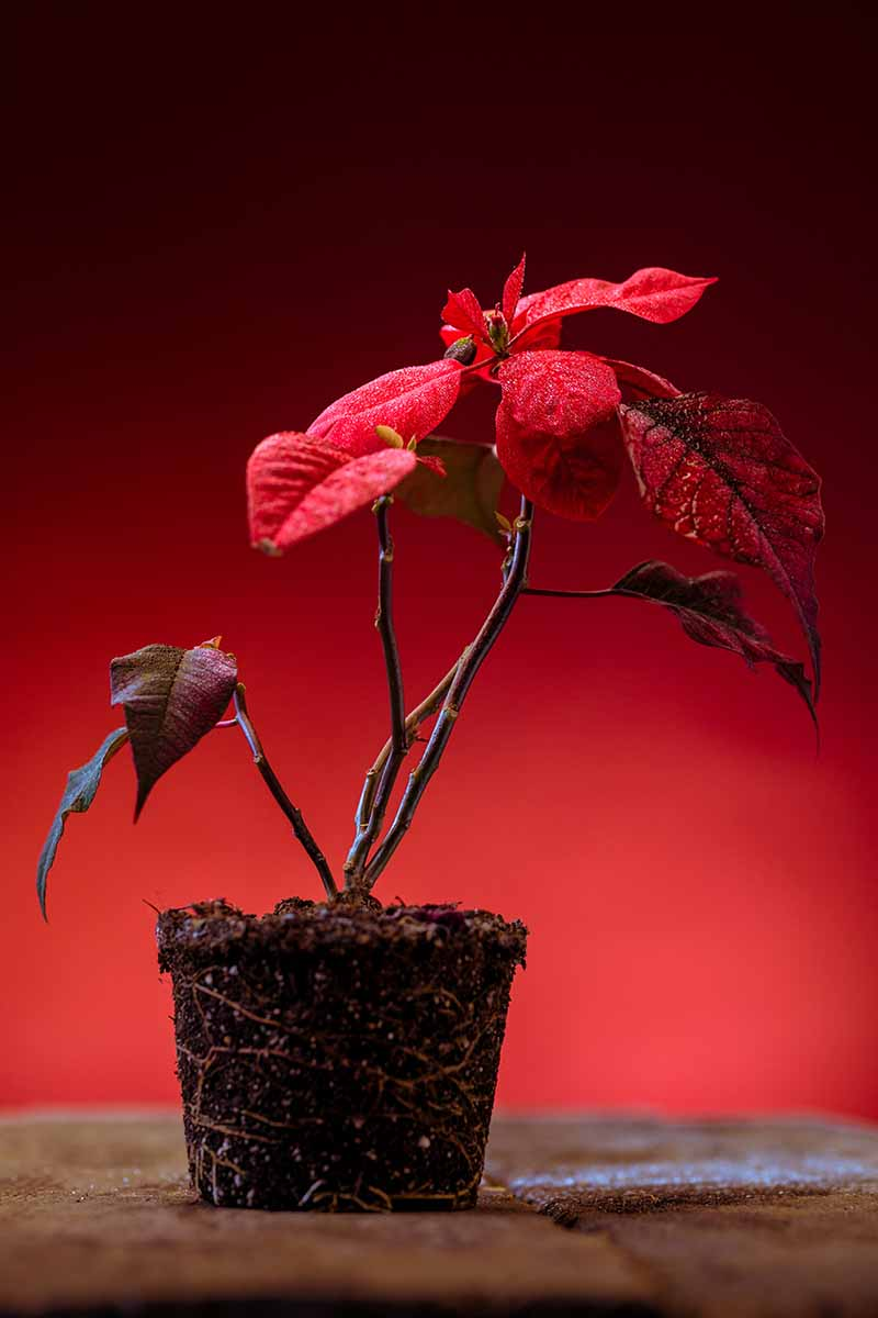 A vertical picture of a poinsettia plant taken out of its pot and placed on a wooden surface the plant has been pruned so only the bright red bracts remain. The background is dark red fading to soft focus.