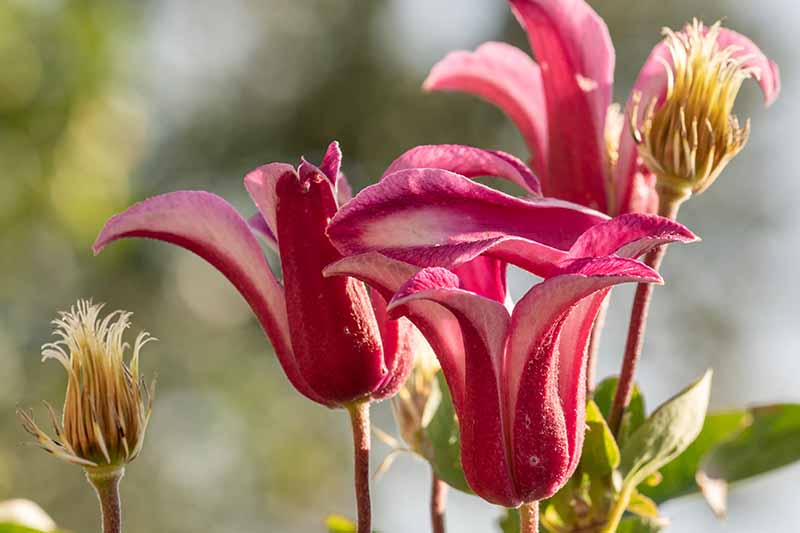 A close up of dramatic red with pink stripes 'Duchess of Albany' flowers, on a soft focus background in bright sunshine.
