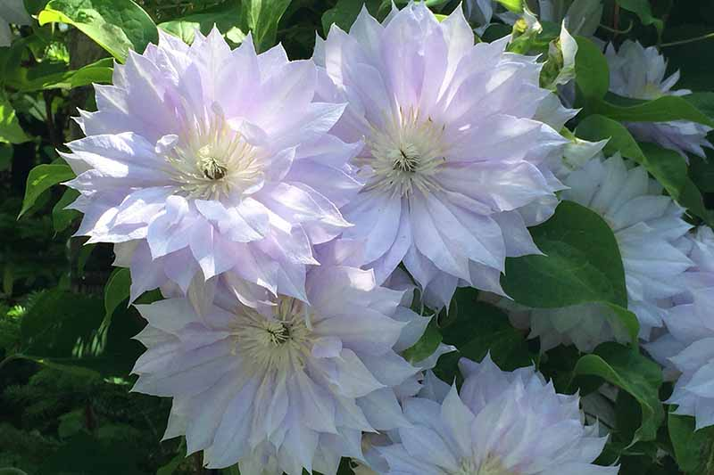 A close up of white 'Duchess of Edinburgh' flowers with multiple petals and large central filaments in bright sunshine against a green background in soft focus.