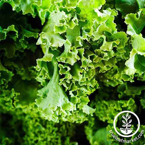A close up of part of a leaf of the 'Dwarf Siberian' kale variety in bright sunlight. The crisp green leaf is slightly curly, and the background fades to soft focus. To the bottom right of the frame is a circular logo with white text.