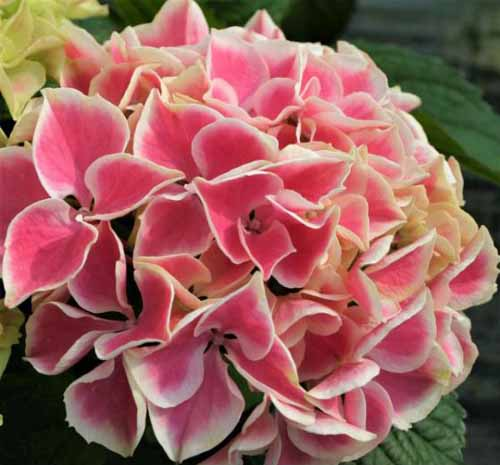 A close up square image of the flower of 'Edgy Hearts' Hydrangea pictured on a dark background.